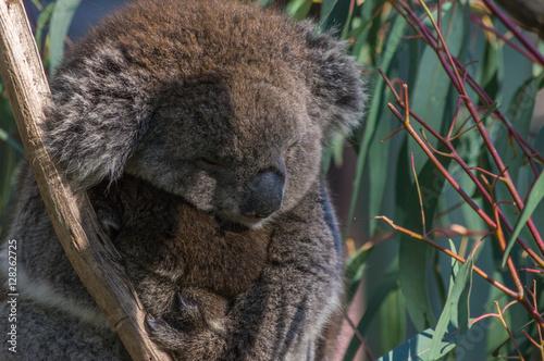 Garden Poster Koala Australian Koala with baby Joey sitting in a Eucalpt Tree