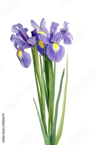 Foto op Canvas Iris iris flowers on white