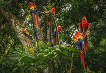 Scarlet Macaws In A Tree