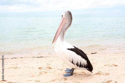 Cuadros en Lienzo Pelican, Monkey Mia, Western Australia
