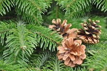 Closeup Of Green Christmas-tree Background And Pine Cones