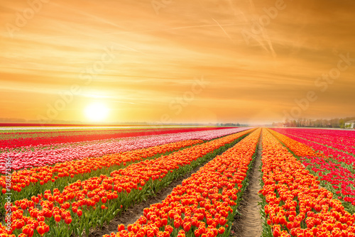 Obraz Landscape of Netherlands tulips with sunlight in Netherlands... - fototapety do salonu
