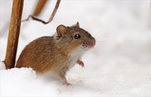 Striped Field Mouse Near Her H...