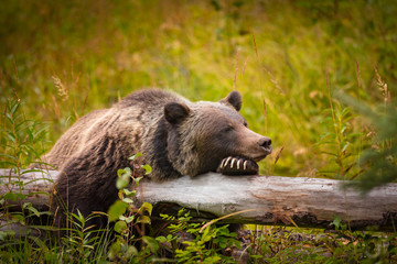Wild Grizzly Bear sleeping on a log in Banff National Park in the Canadian Rocky Mountains