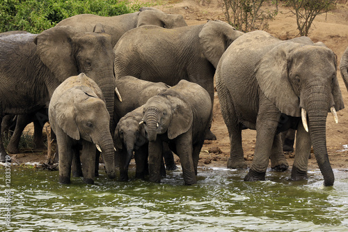 Canvas Prints Elephant Elephant Family (Loxodonta Africana) Drinking at the River Bank of Kazinga Channel. Queen Elisabeth National Park, Uganda