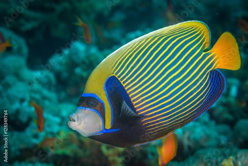 Fototapety, obrazy: Emperor angelfish