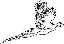 Ring Necked Pheasant Flying