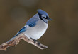 Blue jay isolated on a brown background perched on a branch
