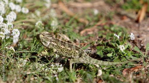 Photo Stands Chameleon Kameleon na maltańskiej łące