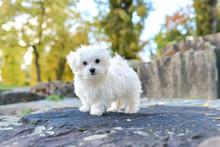 Cute Maltese Dog Sitting On The Rock