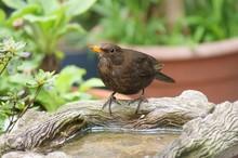 Female Blackbird At Birdbath. ...