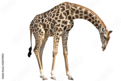 Giraffe standing lowering Head isolated on white