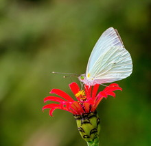 Mountain Green Eyed White Butterfly On A Red Wild Flower In Central Mexico.