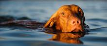 Vizsla Dog Swimming In Blue Wa...