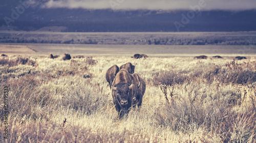 La pose en embrasure Bison Retro toned herd of American bisons (Bison bison) grazing in the Grand Teton National Park, Wyoming, USA.
