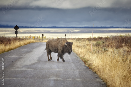 Canvas Prints Bison American bison (Bison bison) crossing road in Grand Teton National Park, Wyoming, USA.