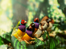 Gouldian Finch Exotic Bird