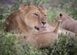 Mama Lion Washing Tiny Cub