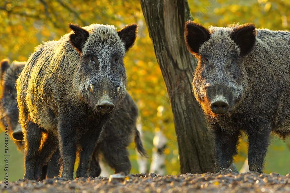 Fototapeta curious wild boars