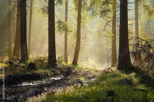 Cadres-photo bureau Foret brouillard beautiful morning light in spruce forest