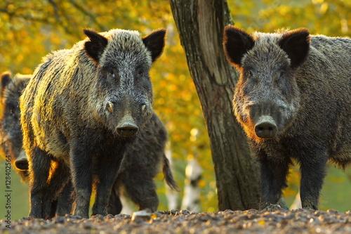 Obraz curious wild boars - fototapety do salonu