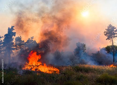 Slika na platnu Forest fire. Using firebreak for stoping wildfire.