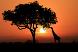 Fototapeta Sawanna - Large South African Giraffes at Sunset in Africa
