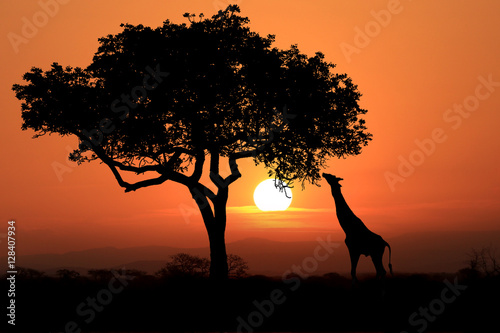 Keuken foto achterwand Afrika Large South African Giraffes at Sunset in Africa