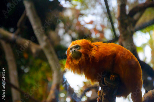Photo  Leontopithecus rosalia