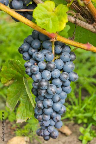 гроздь винограда, виноградная лоза, осенний урожай