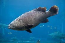 Big Seabass Fish In Blue Water