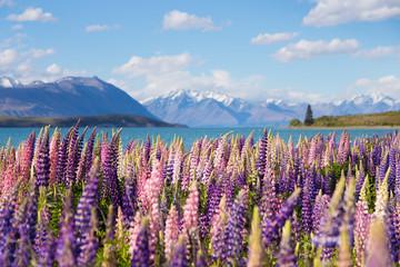 Fototapeta Beautiful lupine flower in Lake Tekapo, New Zealand