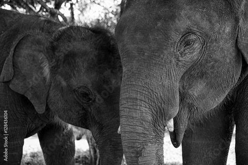 Canvas Prints Elephant Baby asia elephant in Maesa, Chiangmai Thailand