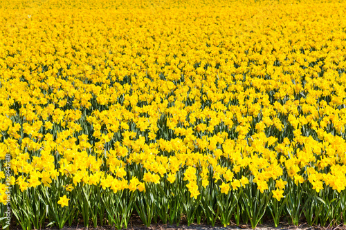 Ingelijste posters Narcis Field of yellow daffodil flowers blooming in spring panoramic background texture