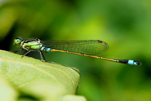Green And Turquoise Damselfly
