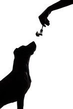 Dog Silhouette On White Background Stares At Food. Dark Contour Of A Puppy Sitting And Looking Up At Cauliflower In Fork In Human Hand