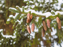 Cones On The Branches