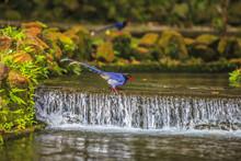 National Treasure Taiwan Blue Magpie