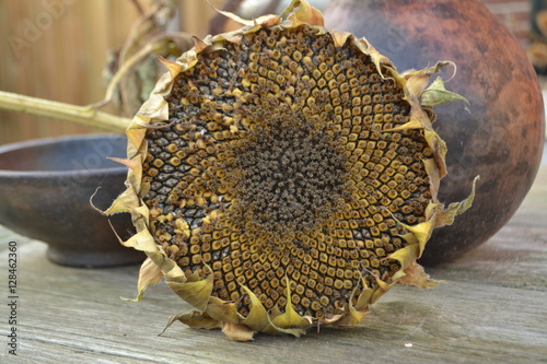 Foto auf Gartenposter Sonnenblume uitgebloeide zonnebloem met heel veel zonnebloemzaden