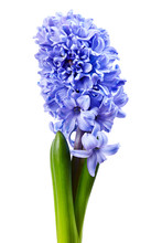 Violet Hyacinth On White Background