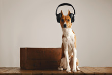 Sitting Portrait Of A Cute Basenji Dog Wearing Large Black Headphones Sitting Next To A Vintage Wine Crate In A Studio With White Walls