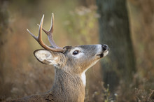 A Small Whitetail Buck Tosses ...