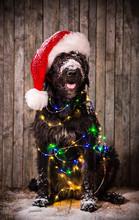 Black Dog In Santa Outfit
