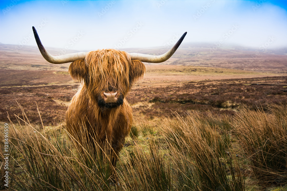 Fototapeta Scottish Highland Cow cow in field looking at the camera,Highlan
