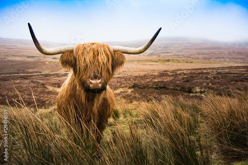 Fotobehang Koe Scottish Highland Cow cow in field looking at the camera,Highlan