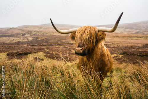 Poster Vache de Montagne Highland cow in field,Highland cattle,Bull,Scotland
