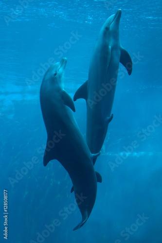 Fotografie, Obraz Common bottlenose dolphin (Tursiops truncatus).
