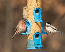 Male House Finch At Feeder, Eating Seeds, With A Female On The Background And A Chickadee Just Taking Flight