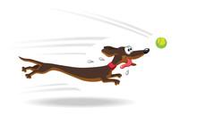 Dachshund Dog Running For Tenn...