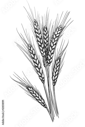 Leinwand Poster Vector illustration of wheat.